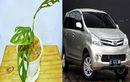 Lagi Naik Daun, Harga Tanaman Janda Bolong Meroket Hingga Setara Toyota Avanza Bekas, Pilih yang Mana Nih?