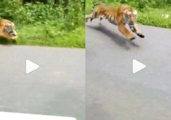 Ngeri, Video Detik-detik Pemotor Hampir Diterkam Harimau Yang Keluar Dari Hutan