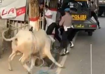Viral Video Polisi Lari Terbirit-birit Dikejar Sapi Kurban, Pemotor Ikut Bubar