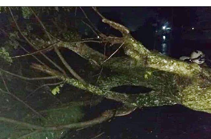 Pohon besar roboh di Klaten