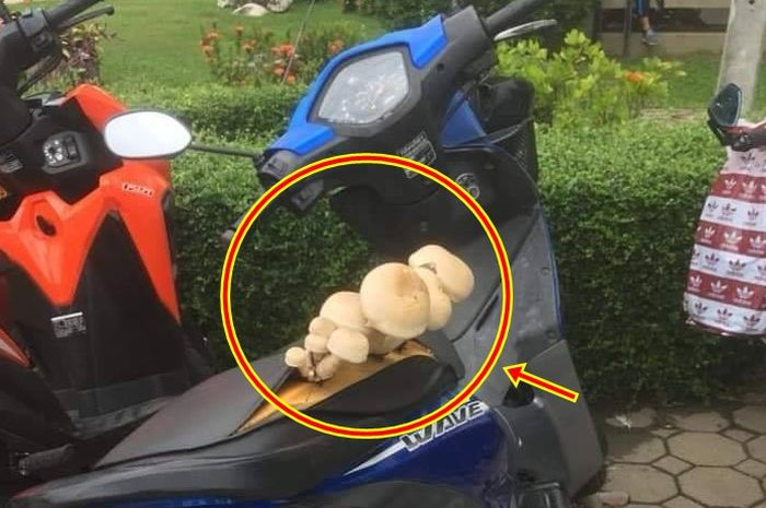 Jamur besar tumbuh di jok Honda Revo