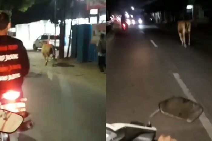 Pemotor geger lihat sapi lepas dan lari ke tengah jalan